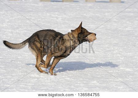German sheepdog running on the  white snow