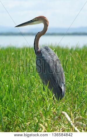 Goliath Heron (ardea Goliath), Lake Baringo, Kenya