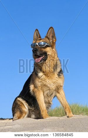 German shepherd with solar glasses on sand