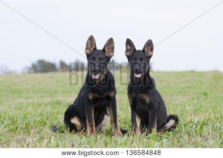 German Shepherd`s Puppys