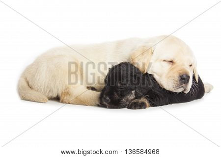 Labrador Retriever And Miniature Schnauzer Black Puppies