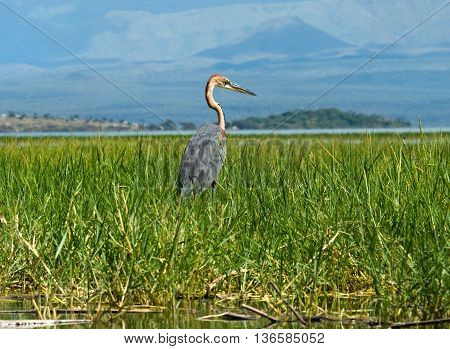 Goliath Heron Standing In Water