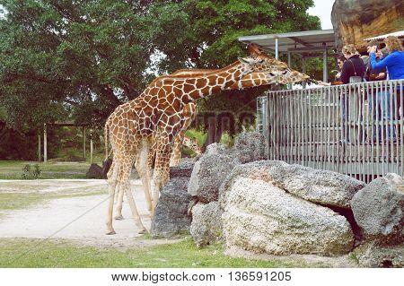 MIAMI BEACH, UNITED STATES - FEBRUARY 10: People feed giraffes in the Miami Metro Zoo on 10th of February, 2016 in Miami Beach.