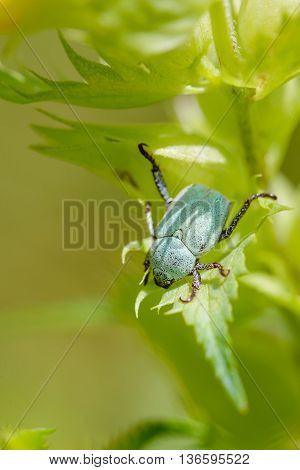 A Hoplia Parvula a kind of scarab on a Rhinanthus Flower under the warm summer sun