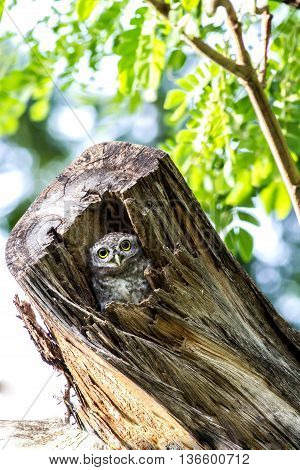 Owl (Spotted owlet) peeking out of a hollow tree