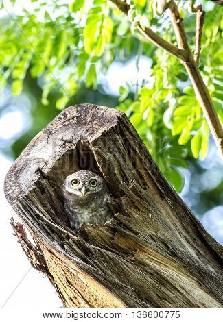 Owl (Spotted owlet) peeking out of a hollow tree trunk in nature