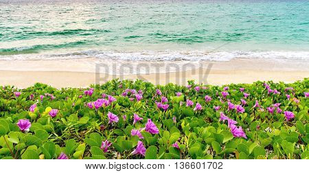 pink flowers (Ipomoea pes-caprae) and beach in the morning sunrise