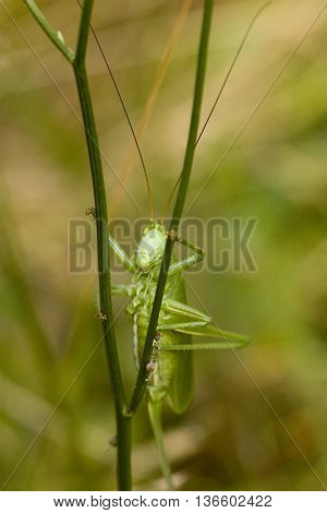 Great green bush cricket on grass. Marco photography of insect.