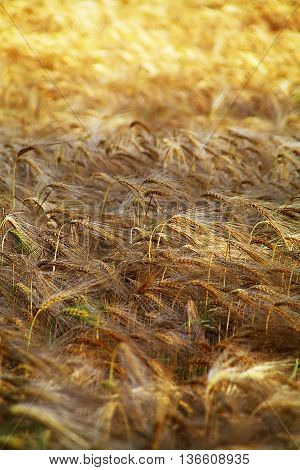 Golden wheat sheaves, nearly ready for reaping, turn in unison in the summer breeze. They are nearly ready for reaping,
