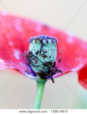 picture of a poppy flower with pistils and stamens