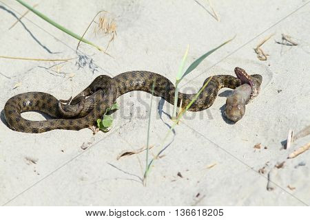 Natrix tessellata - dice snake eating sea gudgeon