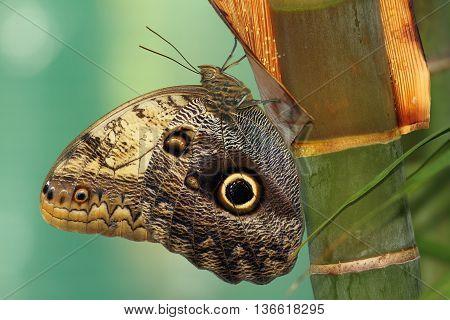 forest giant owl butterfly ( Caligo eurilochus ) macro shot