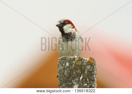 house sparrow male standing on pillar ( Passer domesticus )