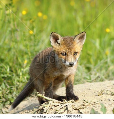 small european red fox cub ( Vulpes vulpes )