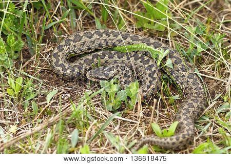 the rarest snake in Europe meadow adder photographed in natural habitat in Transylvania ( Vipera ursinii rakosiensis ) poster