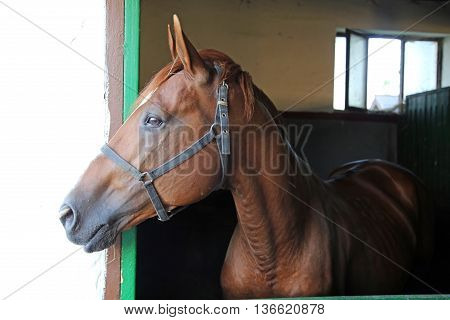 Side View Portrait Of A Beautiful Purebred Anglo-arabian Stallion