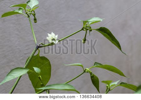 Growing chilli peppers: chilli pepper plant in bud / flower growing on gardening cane.