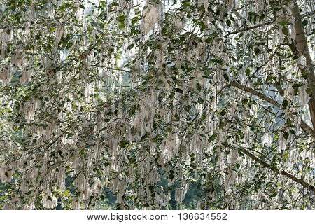 white poplar down on the branches of poplar trees during flowering