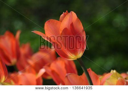 Beautiful field of pink salmon and yellow tulips