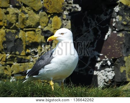 Lesser black backed gull in front of a stone wall