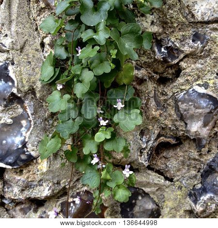 Wild flowers growing within a flint wall, Cornwall, England
