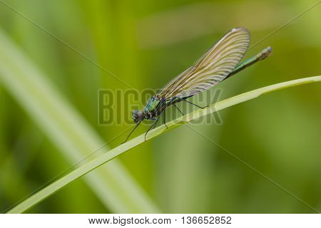 Banded Demoiselle (Caloptyrex splendens) female resting on a stem