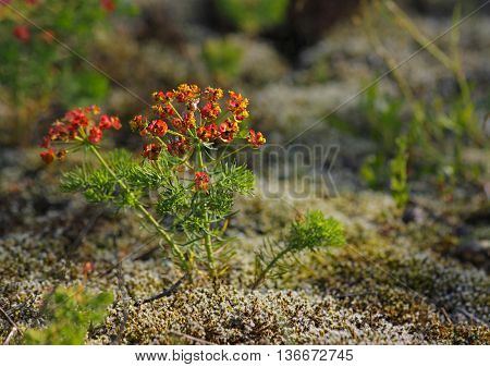 Close up of a Cypress spurge (Euphorbia cyparissias) plants. Selective focus.