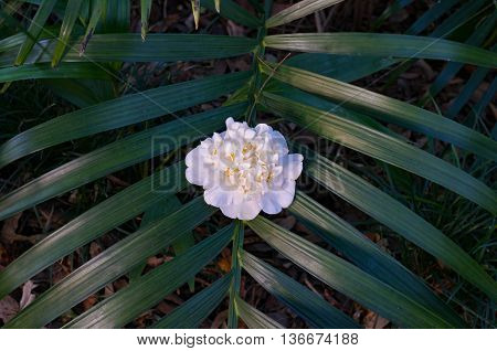 Bright white camellia glower on tropical palm leaves. Floral background with exotic plants