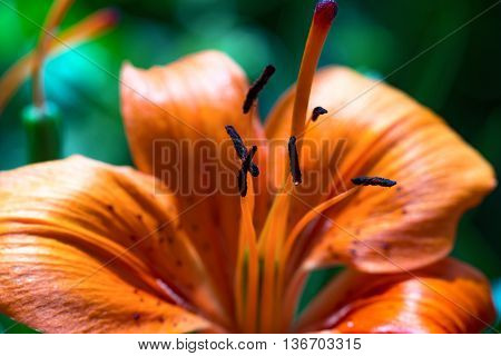 Macro photography of an orange tiger lily flower with pistils - Lilium bulbiferum