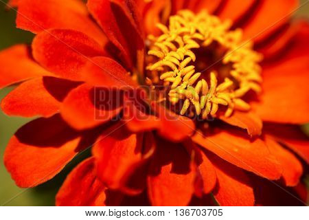 Macro photography of an orange and yellow zinnia flower - Asteraceae