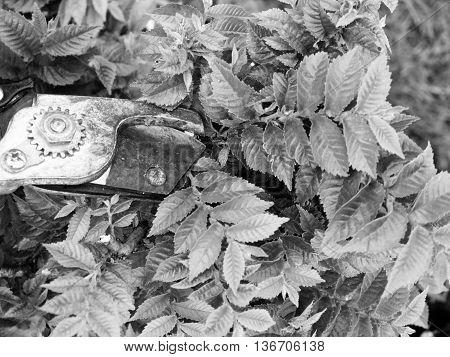 Artistic Gardener Hand Trim Bonsai Hornbeam Tree.
