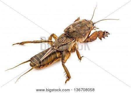 Mole cricket (Gryllotalpidae) isolated on white background