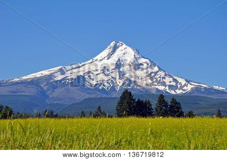 Beautiful Mount Hood and blue sky with meadow in foreground.