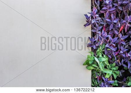 white wall background decorate with Tradescantia spathacea purple color