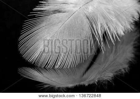 Close up of beautiful single white feather viewed from the side on black reflective background