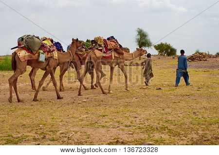 JAISALMER INDIA - SEPT 23: Cameleer in desert on Sept 23 2013 in Jaisalmer India. Camel riding activity is important income source for desert villagers.