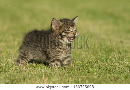 Cute Tabby Kitten In Grass