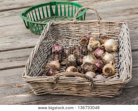 Hyacinth bulbs in a wicker basket on an old table