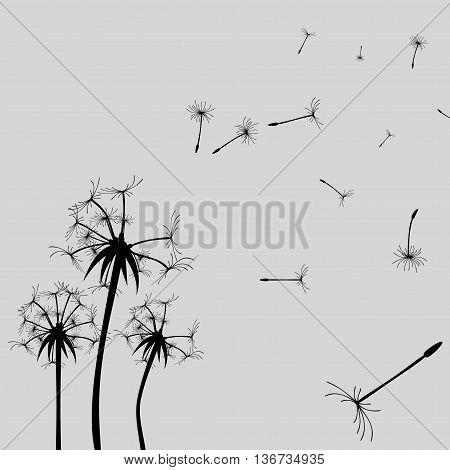 Vector Dandelion silhouette. Flying dandelion buds black on gray
