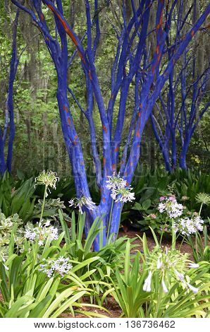 Blue painted crepe myrtles stand out in the garden