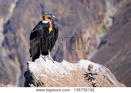 Andean Condor Sitting At Mirador Cruz Del Condor In Colca Canyon, Peru