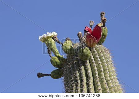 Various stages of a Saguaro cactus regeneration, i.e., pod, flower, fruit, and seed dispersal.