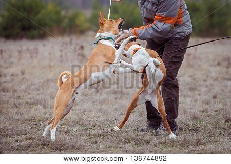 Two Basenji Dogs Fight