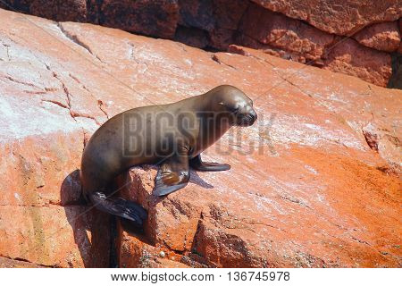 Young South American Sea Lion In Ballestas Islands Reserve In Peru