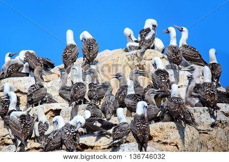 Colony Of Peruvian Boobies In Ballestas Islands Reserve In Peru