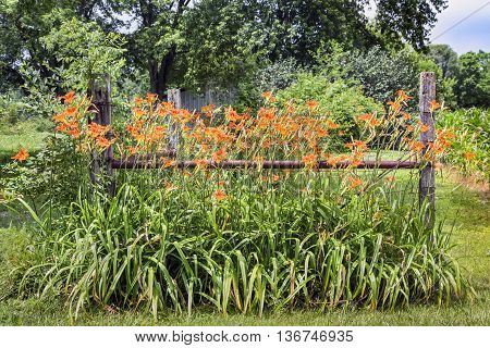 Orange lilies bloom along a fence alongside a rural road in the America's Midwest.