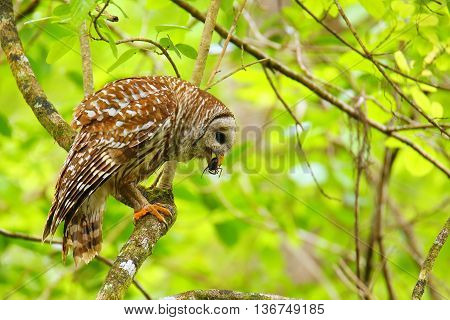 Barred owl (Strix varia) holding crayfish in tis beak. Barred owl is best known as the hoot owl for its distinctive call poster