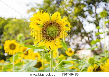sunflower crop on a sunny day in hollyday