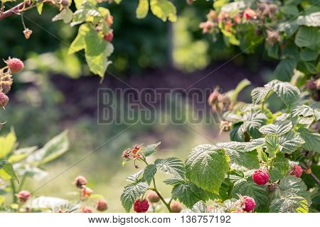 Toned image of raspberry bushes with copy space in the center.