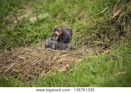Beautiful Female Jill Polecat Mustelinae Putorisus Dragging Baby Kit Into Burrow
